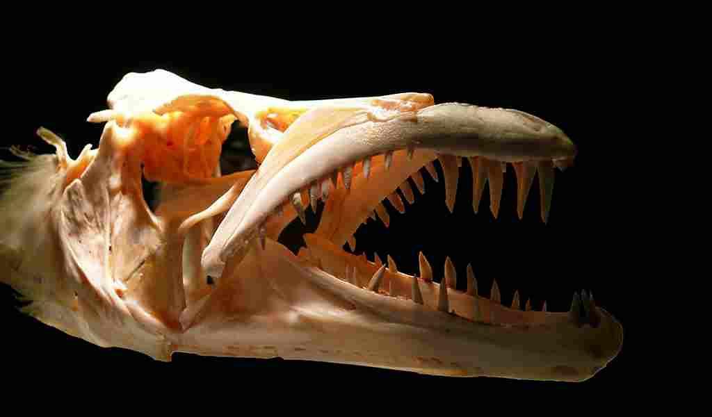 les-anciens-anchois-avaient-des-dents-comme-des-sabres