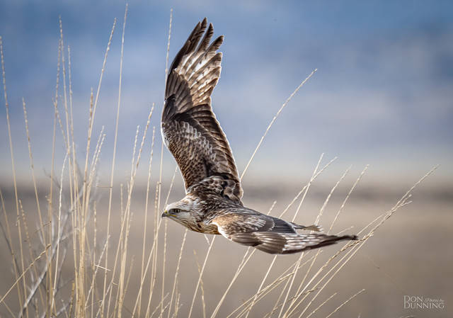 Rough-legged Hawk -- Light Morph (Buteo lagopus)