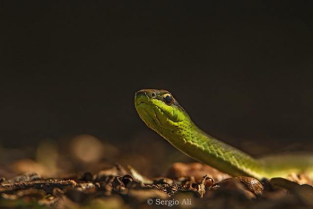 Culebra verde esmeralda (Philodryas aestiva) II