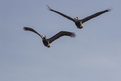 Grey pelicans, Royalton Riviera Cancun Resort & Spa, Mexico