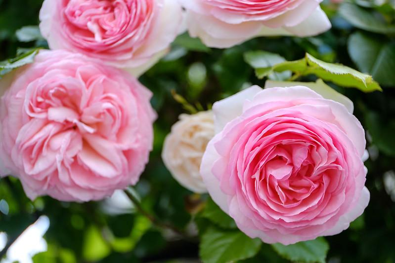Neighborhood roses.