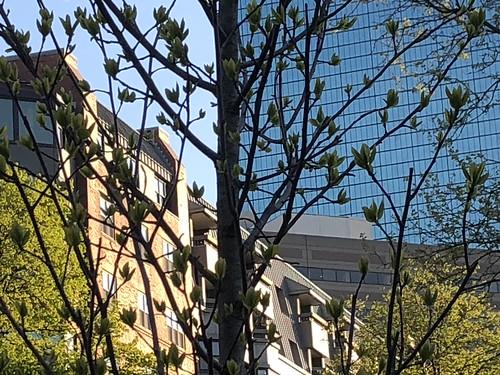 New Sweet Gum Tree in Southwest Corridor Park