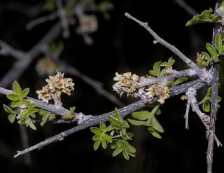 Little Leaf Sumac - Rhus microphylla