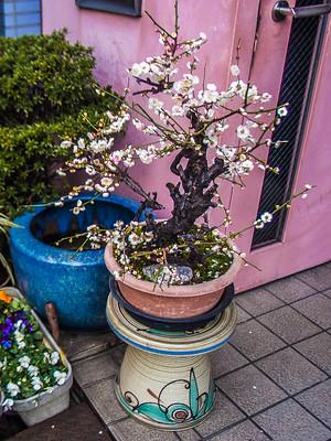 Nihon_arekore_02125_Ume_bonsai_2_100_cl