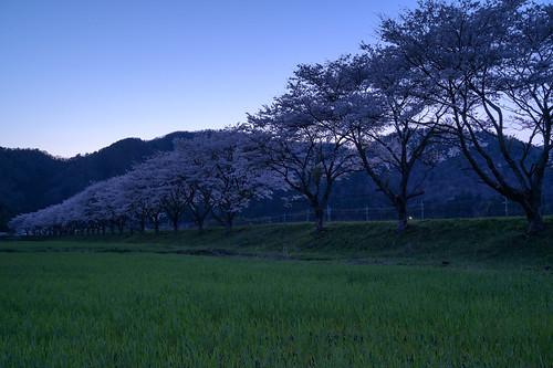 大飯郡 福井県 japan 北陸 若狭 田園 field 桜 cherry 夕景 sunset