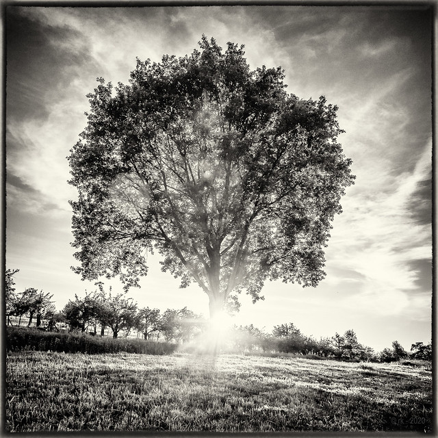 Sunset Tree... (old style)