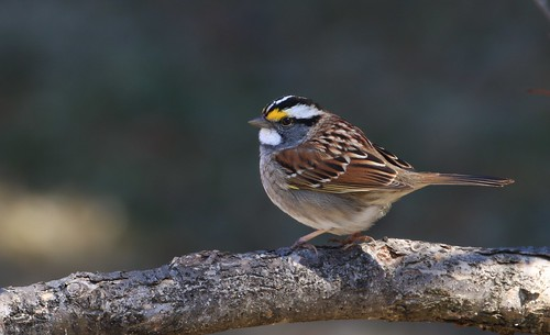 White-throated Sparrow / Bruant à gorge blanche ( Richard )