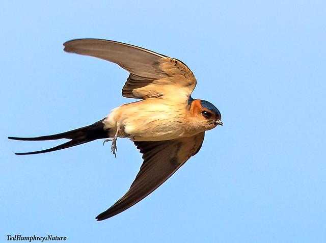 Redrumped swallow feeding up