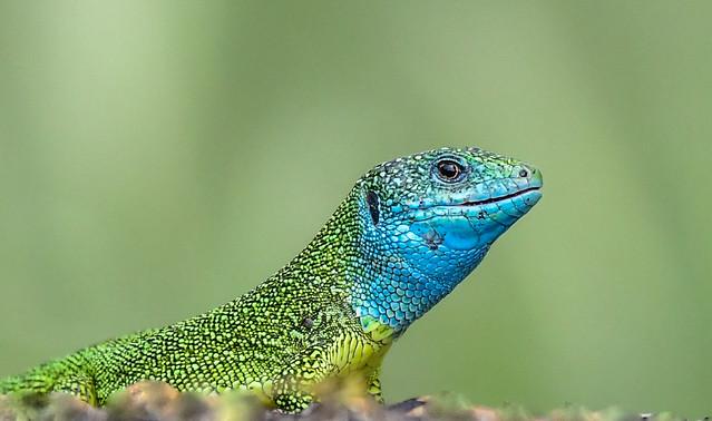 Zöld gyík (Lacerta viridis)