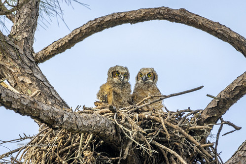 owl greathornedowls owlette juvenile young nest nature mothernature outdoors tree wildlife birdofprey raptor wild twins perch perched sebastian indianrivercounty florida usa