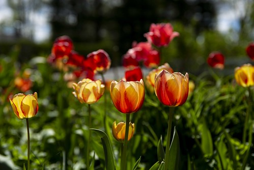 Photo of red and yellow tulips in bloom