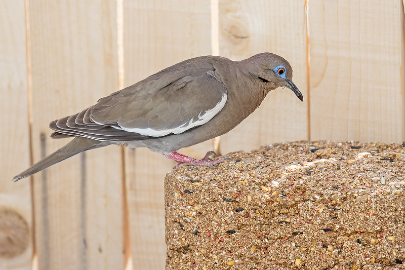 White-winged-Dove-18-7D2-050820