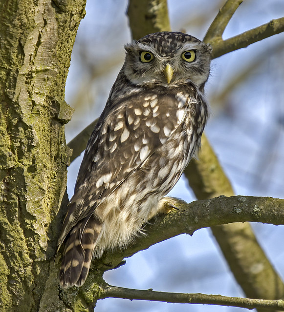 Little Owl.....Calke Abbey....more shots from the  archives.....different shot and crop