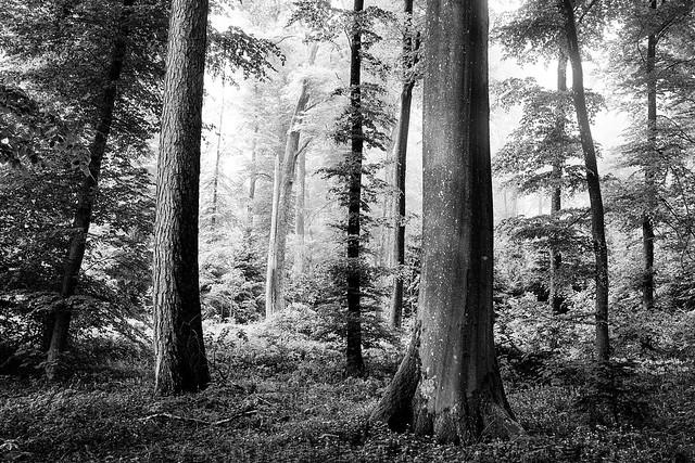 Emmental Woodlands B&W