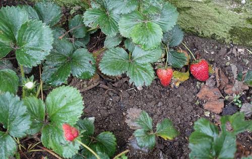 Fresas en mi jardín