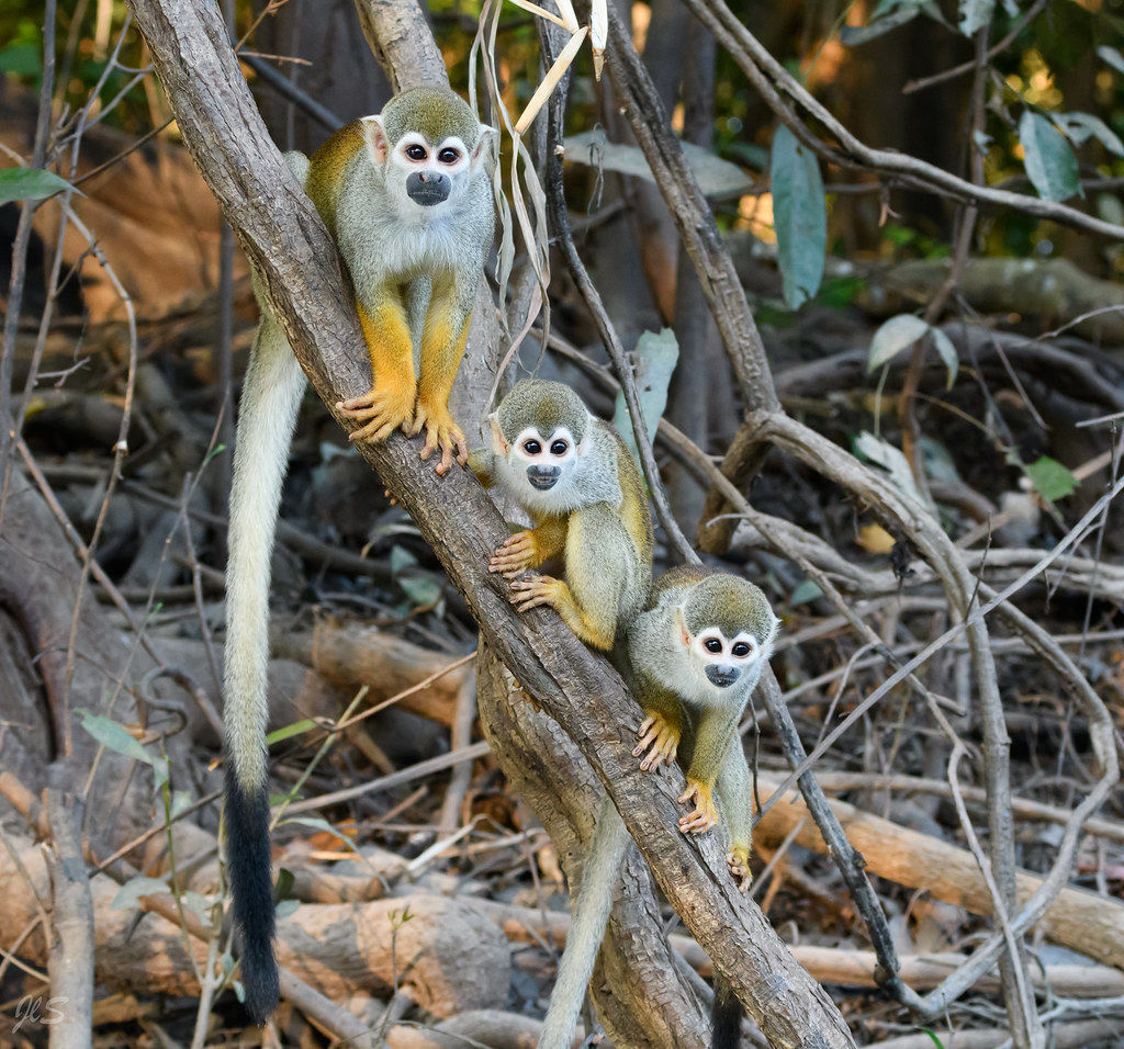 Common squirrel monkeys, Saimiri communs (Singe-écureuil)
