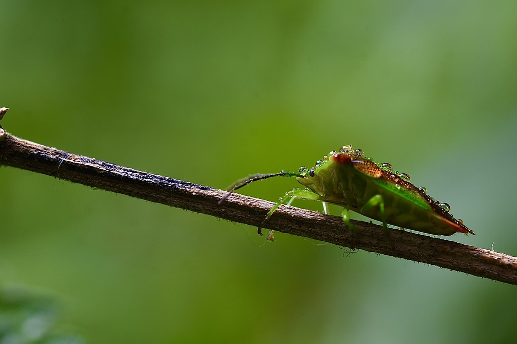 Green shield bug (Palomena prasina )