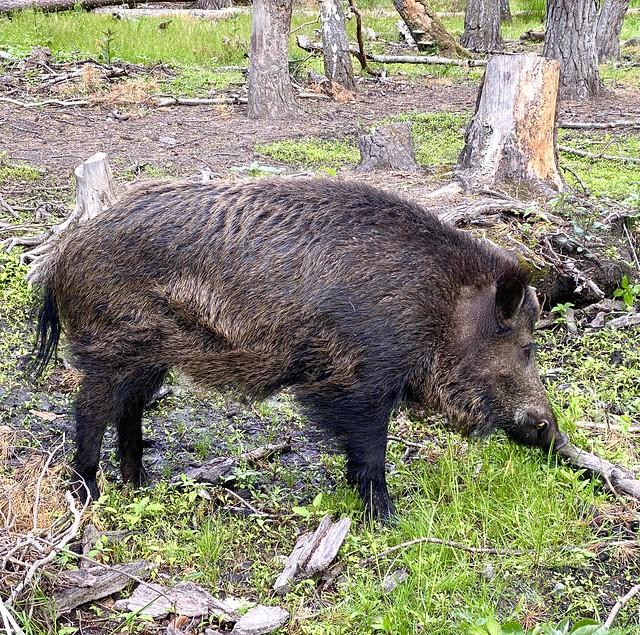Wild Pig - Animal Park Klein-Auheim, Hanau, Germany