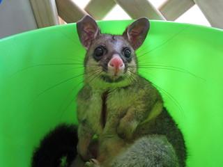Possum in bucket
