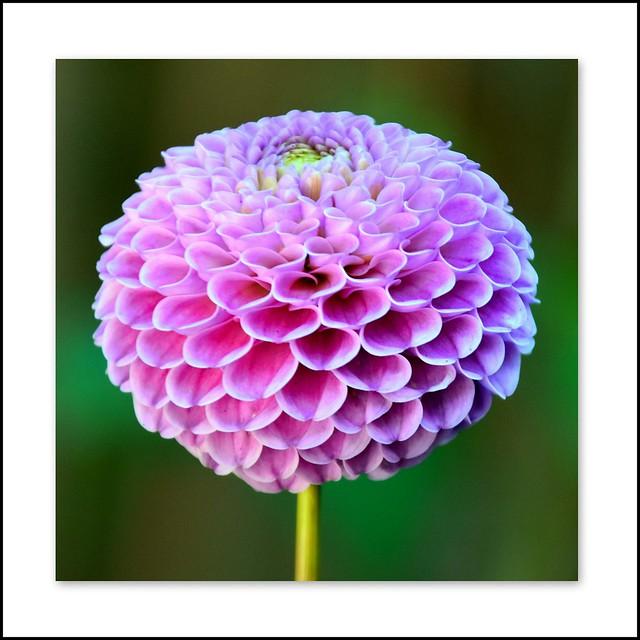 Flower Of The Day - Pom Pom Dahlia