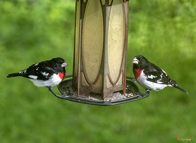 Rose-breasted Grosbeaks (Pheucticus ludovicianus) (DSB0371)