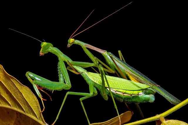 Praying mantis  mating 6634