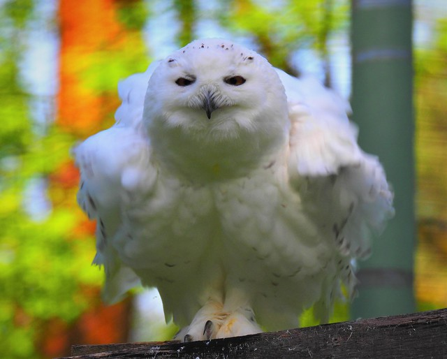 Snow Owl - Wild Animal Park in Klein-Auheim, Germany