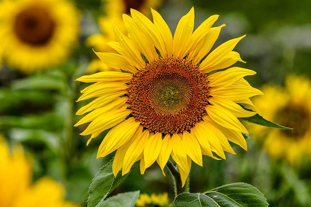 Zurich Sunflower