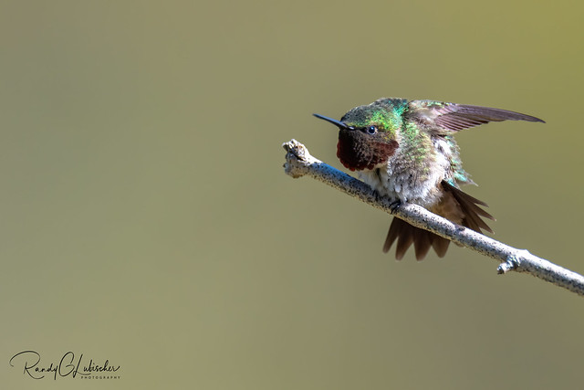 Ruby-throated Hummingbird - Archilochus colubris   2020 - 1