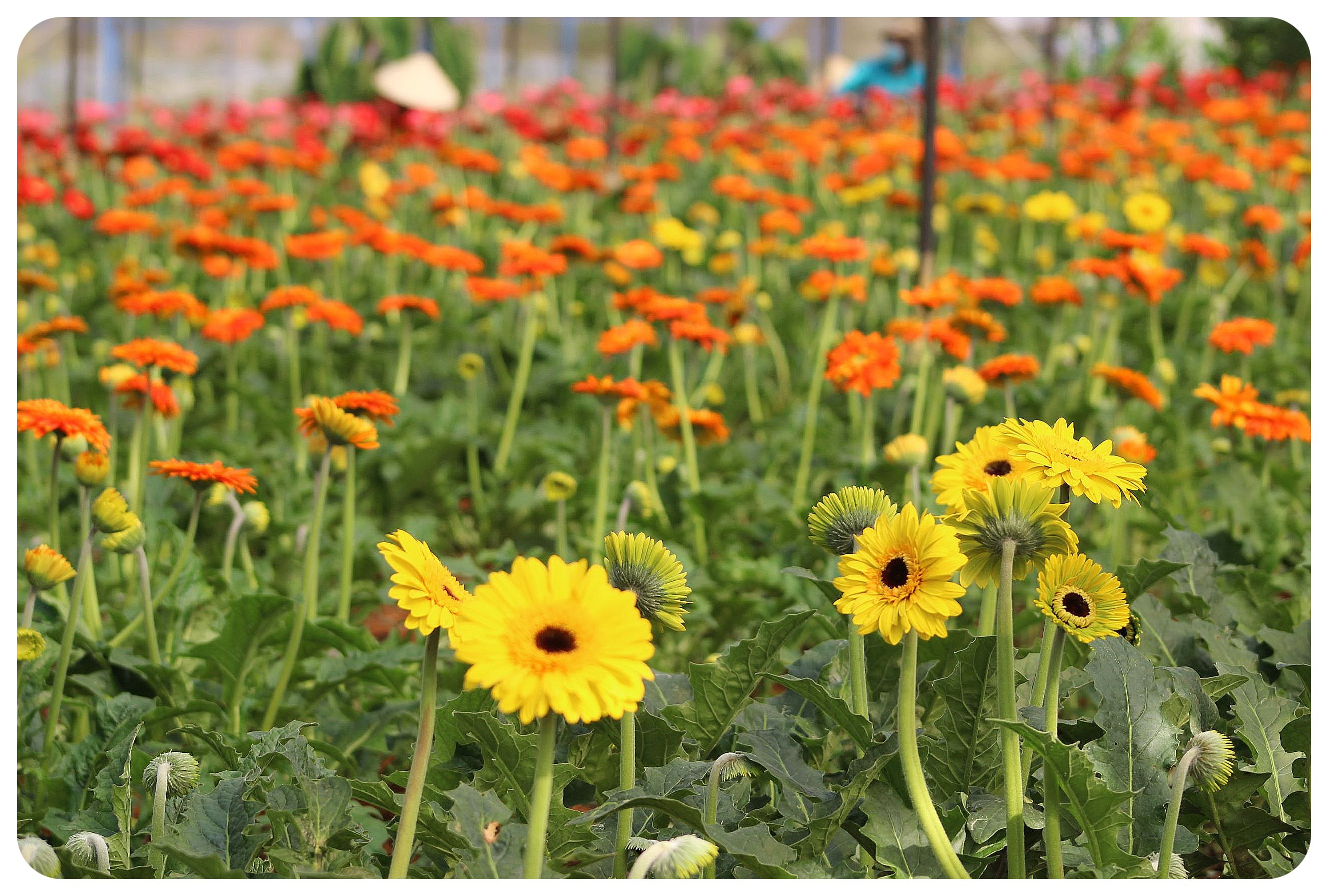 flower farm near dalat