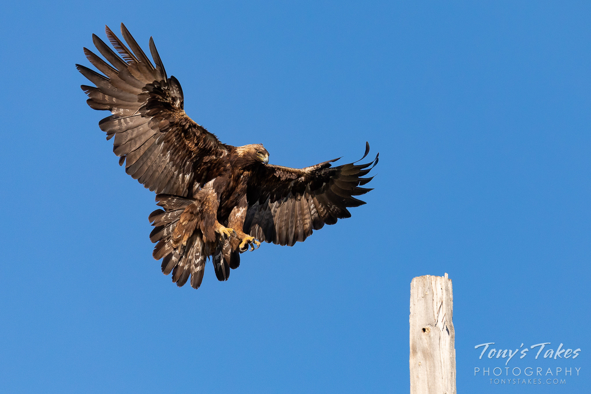 A female golden eagle preps for landing on a pole. (© Tony's Takes)