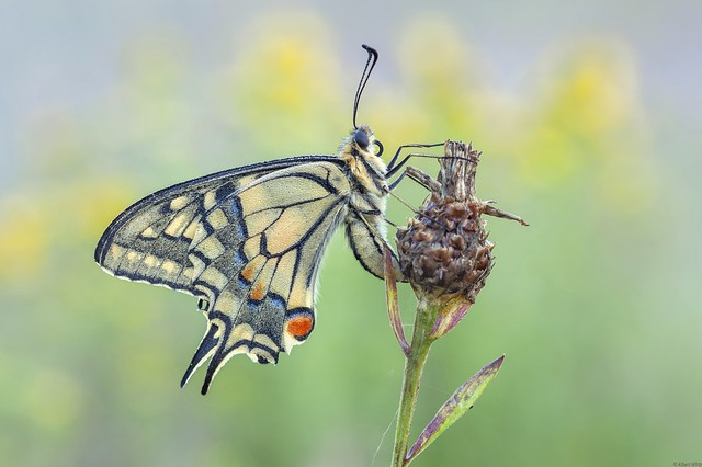 *the swallowtail in the summer meadow*