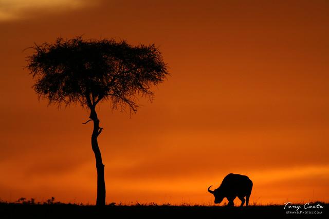 Buffalo grazing at sunset