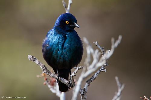 Cape Glossy Starling (Explore)