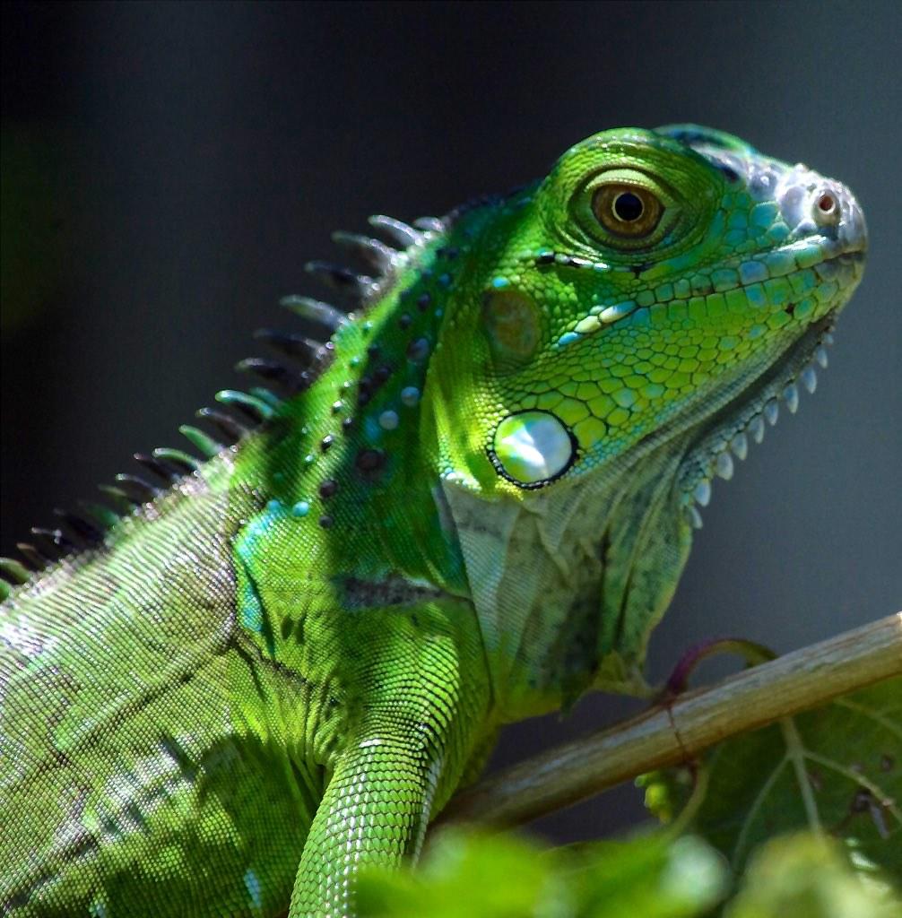 Iguana Portrait (1)