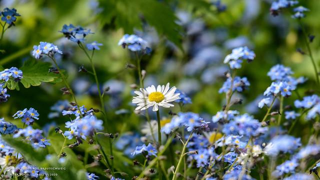 Gänseblümchen • Bellis perennis | die Scheinblütige