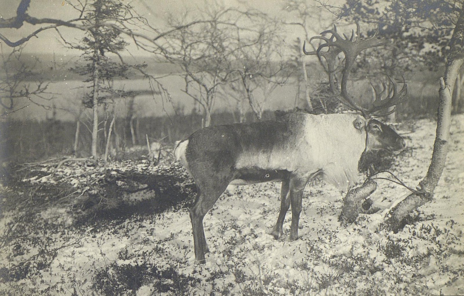 Домашний северный олень у оз.Имандра