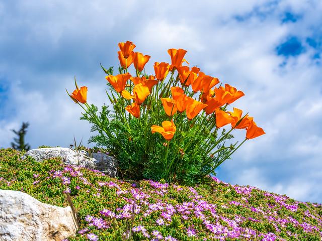 Big Sur California Coast Ocean Art Wildflowers! Dr. Elliot McGucken Fuji GFX 100 Fine Art Landscape Nature Photography! Master Medium Format Fine Art Fujifilm GFX100 Luxury Prints!  FUJIFILM FUJINON GF 120mm f/4 Macro R LM OIS WR Lens