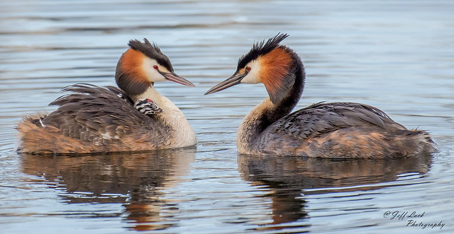 DSC5549  Great Crested Grebes....