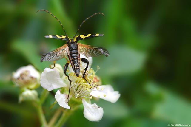 Le décollage du Rutpela Maculata