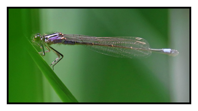 20200514_Agrion_001