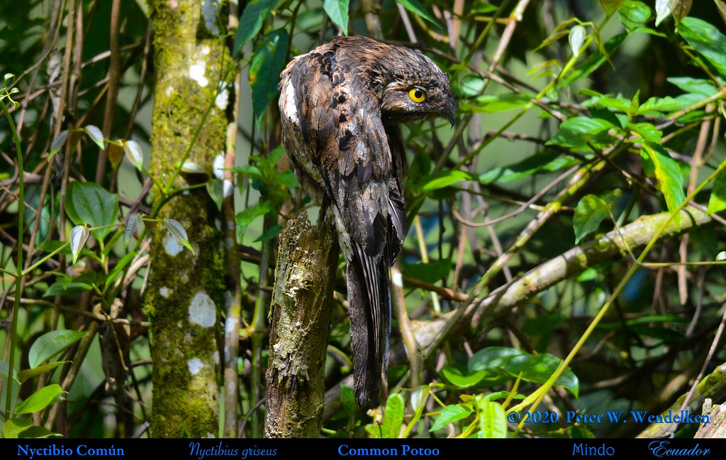 COMMON POTOO Nyctibius griseus Preening near Mindo in Northwestern Ecuador. Photo by Peter Wendelken.