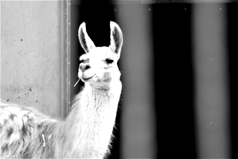 Llama Circus Knie 06.08 (2)