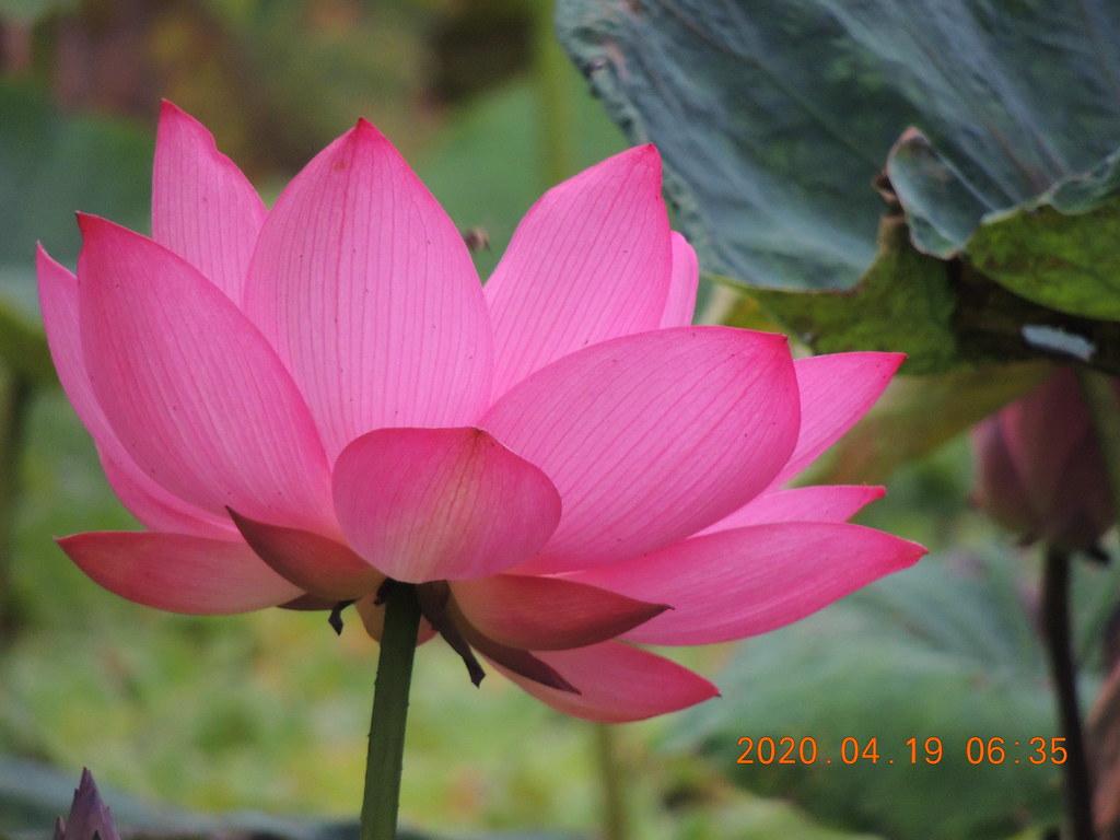 East Lotus--荷花