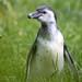 Penguin in Grass