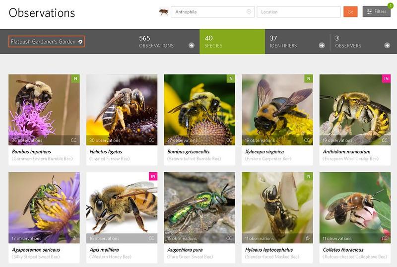 So far I've found 40 Bee species in my garden