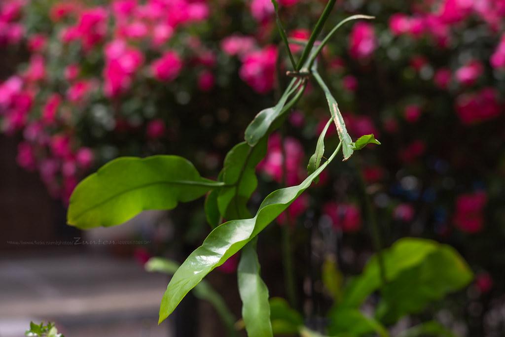Fresh Leaves, Epiphyllum oxypetalum