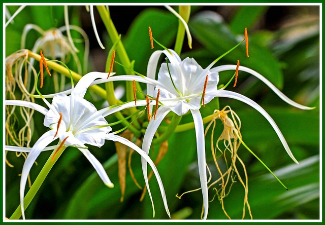 White spider lilies at Coffs Harbour
