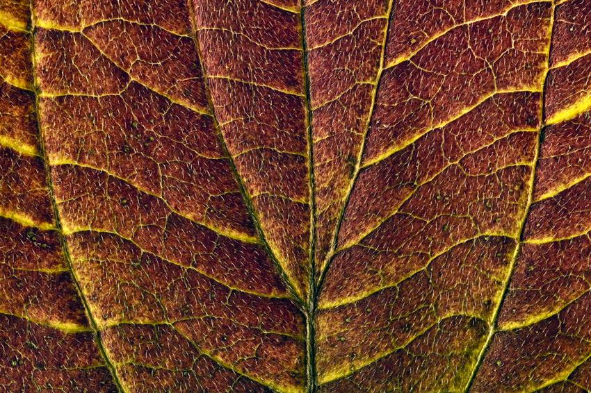 Dogwood leaf backlit close-up detail