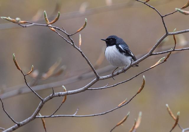 Blk-throated blue warbler 7221